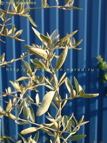 дикая маслина фото