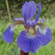 Iris sibirica 'BLUE KING' image ©http://www.dorset-perennials.co.uk